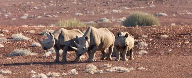 Desert adapted black rhino cow with calves
