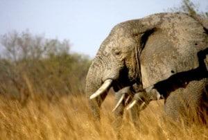 Headshot from side of elephant walking through African Savannah