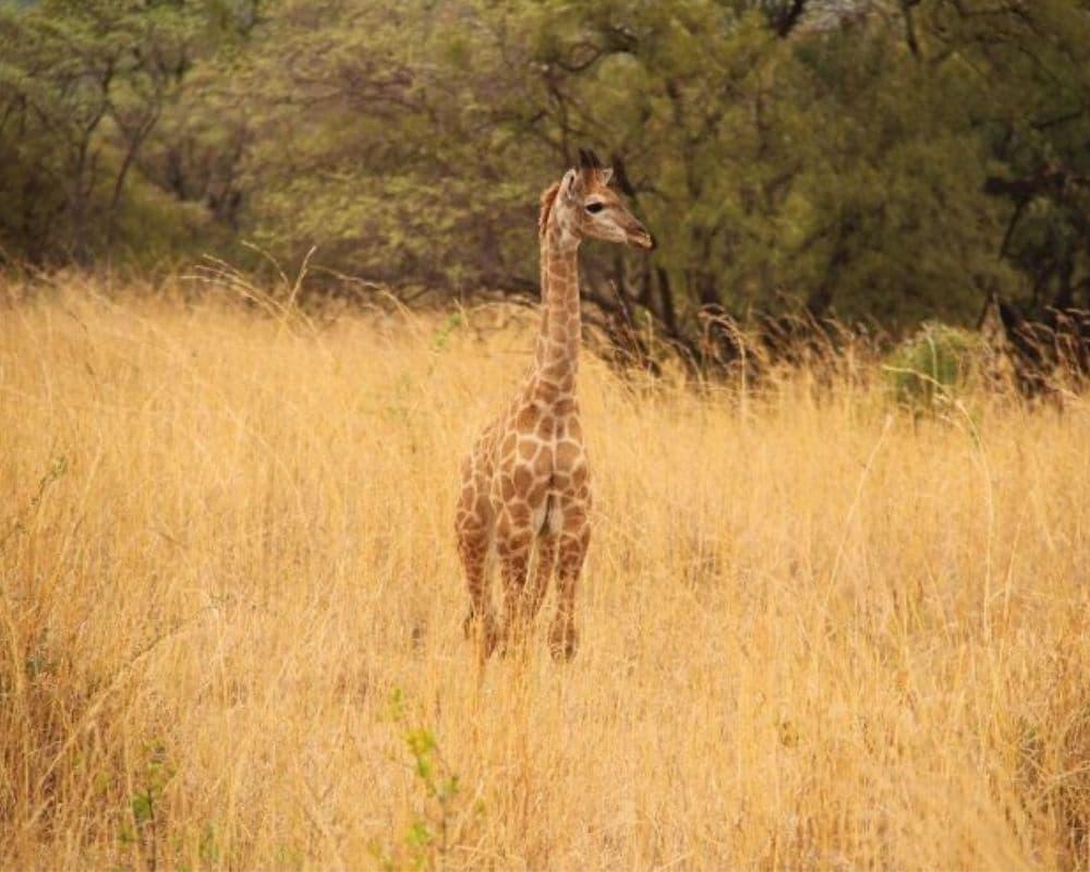 Baby giraffe standing amongst tall grass