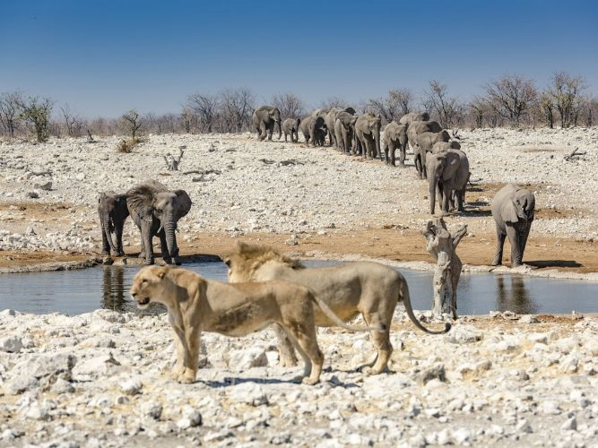 On Safari in Etosha - lion and elephant together at a waterhole