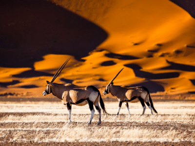 Roan Antelope in the Namib