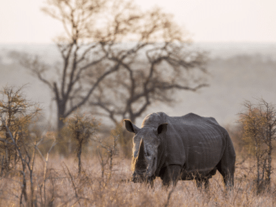 Rhino in the Namib