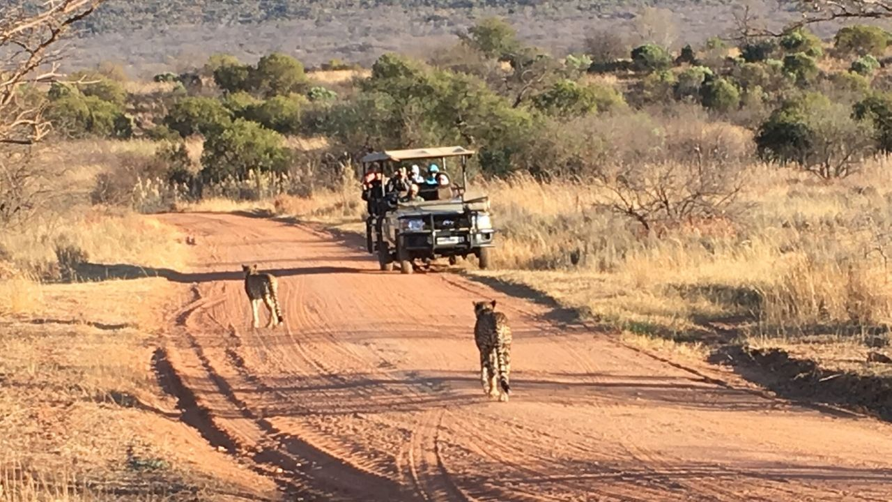 On Game Drive - Two cheetahs walking towards game drive vehicle on dust road in Limpopo Province South Africa