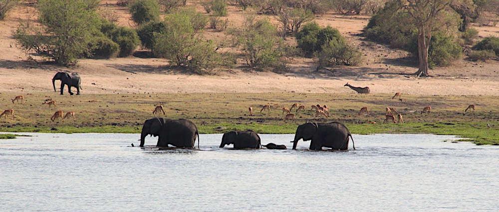 Elephants with young crossing river