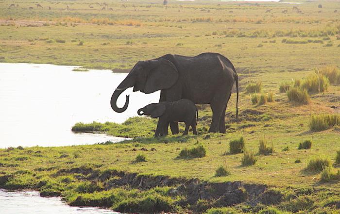 Female Elephant with calf at river showing her calf how to drink