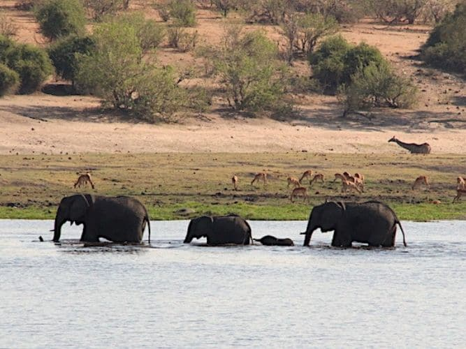 Family of Elephants crossing Chobe River - spot the young ones in the middle - with giraffes and impala in background