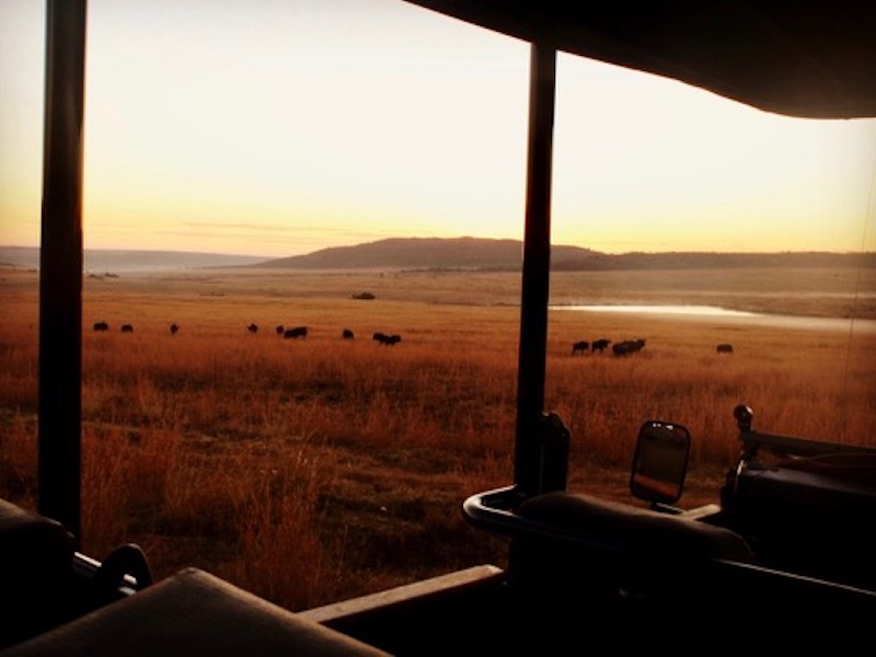 Wildebeest at sunset grazing on the plains