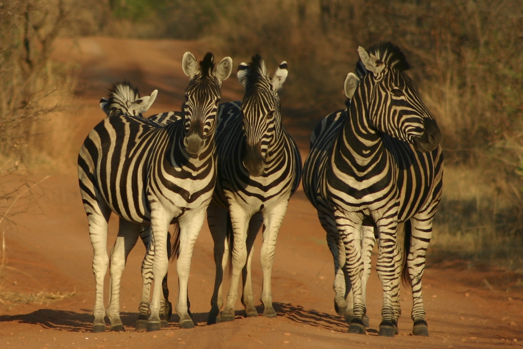 A group of 4 Zebras enjoying the last of the sun's rays and the camera!