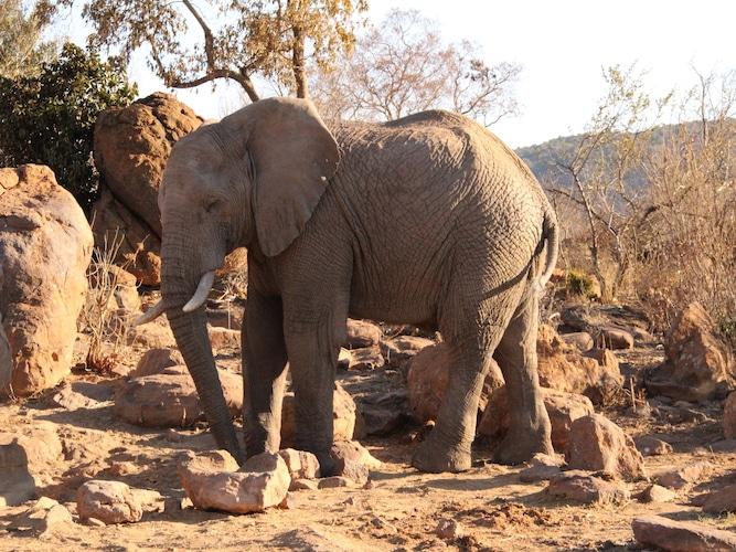 Elephant on safari