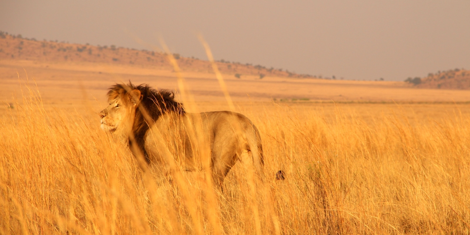Lion in the African Savannah