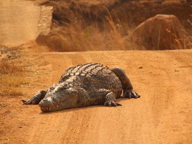 Crocodile on road