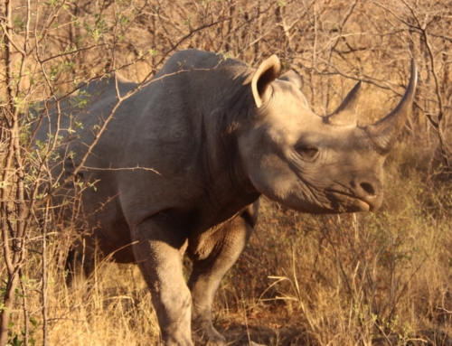 Dating Game for Rhinos: Critically Endangered Rhinos flown to Rwanda