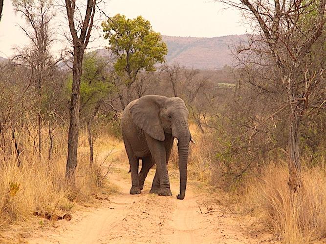Elephant on dirt track