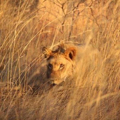 Enjoying a Safari Game Drive - Lions hunting
