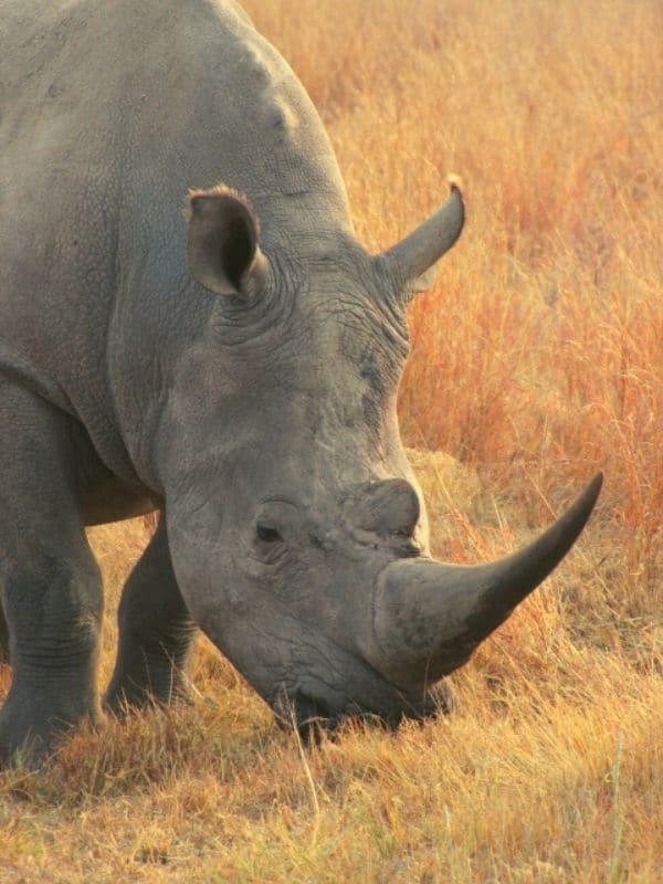 Close up headshot of White Rhinoceros grazing