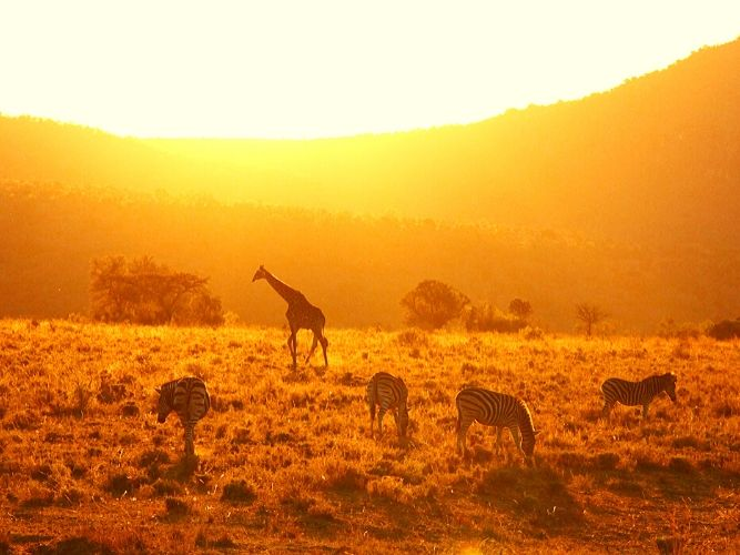 Sunset in Africa: Giraffe, Wildebeest and Zebra grazing on the open plains in last rays of sunshine