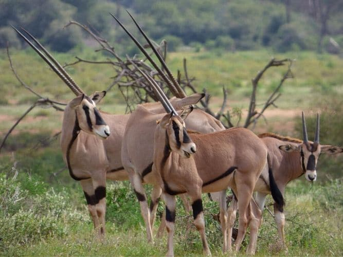 A herd of Oryx