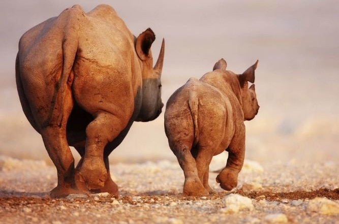 White Rhino - Mother & Calf in Namibia