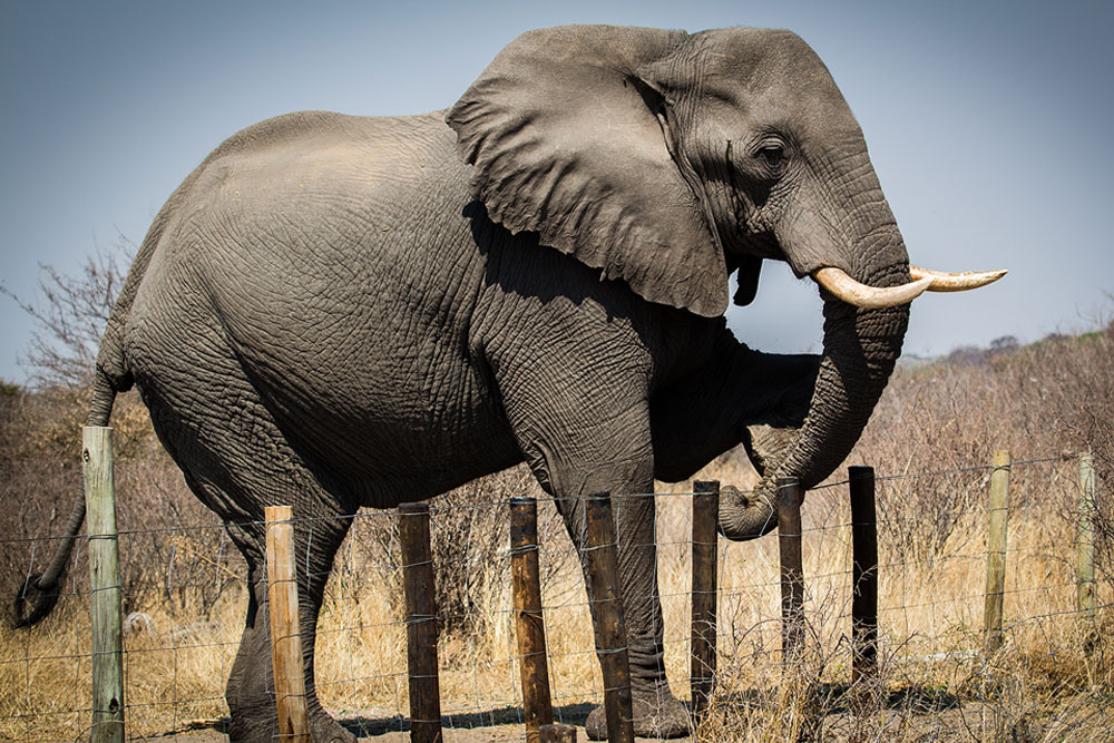 Elephant Human Conflict - Elephant climbing over fence