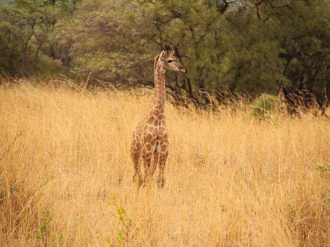 A baby giraffe in the winter bushveld