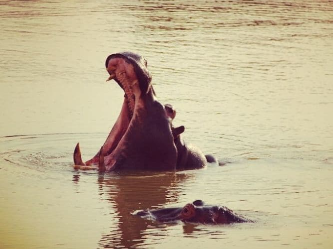 Picture of adult hippo yawning with hippo calf partly submerged close by