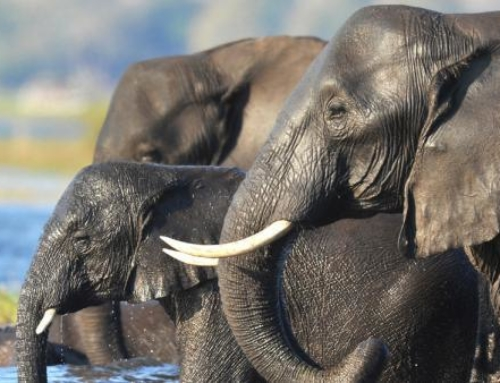 Lifting the Ban on Elephant Hunting in Botswana: Is it the Answer?